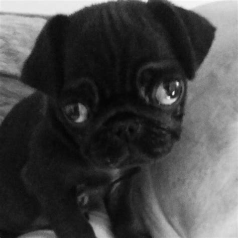 black and pugs for sale black baby pug for sale west pets4homes