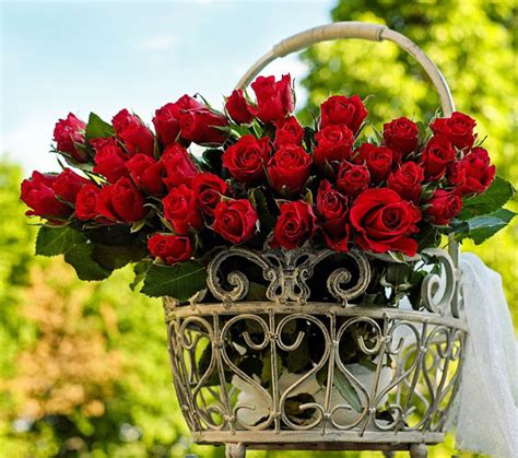 Bibit Bunga Mawar Pelangi macam jenis bunga mawar merah gardener id