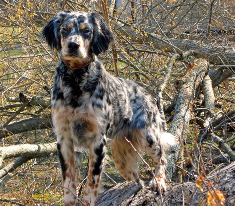 setter dog fable 3 llewellin setter sooo pretty where the wild things are