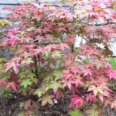 acer palmatum phoenix acer palmatum phoenix japanese maple phoenix