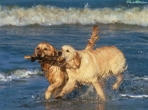 golden retriever pictures golden retriever breed animals wiki pictures stories breeds picture