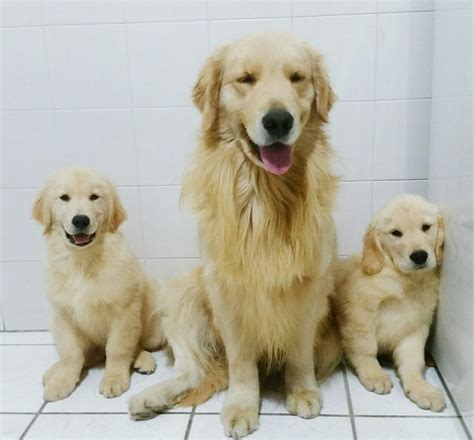 is a golden retriever a filhotes de golden retriever r 2 800 00 em mercado livre