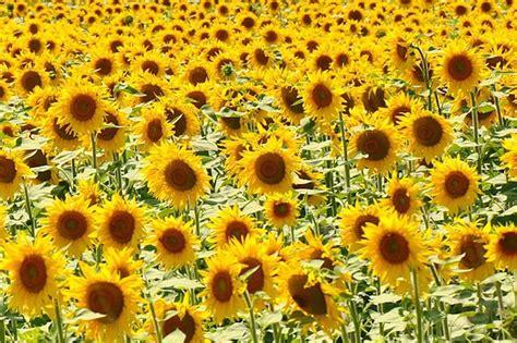 van gogh museum amsterdam zonnebloemen 125 000 zonnebloemen op het museumplein groenvandaag
