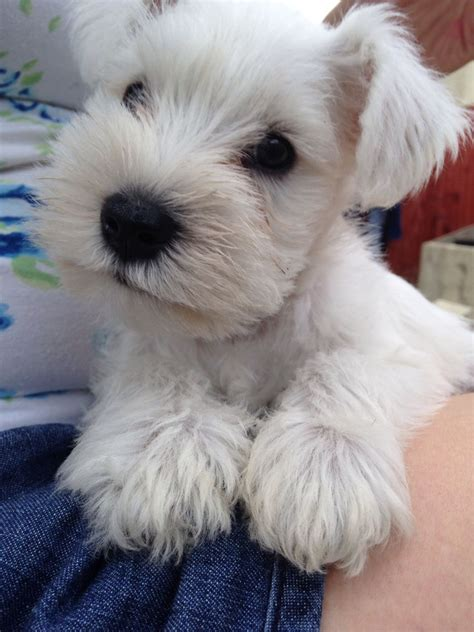 white schnauzer puppies white miniature schnauzer puppies for sale pontypridd rhondda cynon taff pets4homes