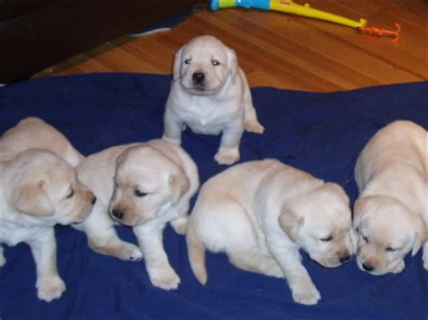 golden retriever puppies for sale vancouver bc bulldog puppy for sale vancouver bc breeds picture