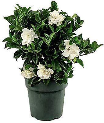 amazoncom american plant exchange gardenia bush miami