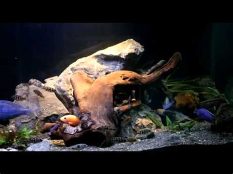 aquascaping african cichlid aquarium aquascaping your african cichlid aquarium youtube