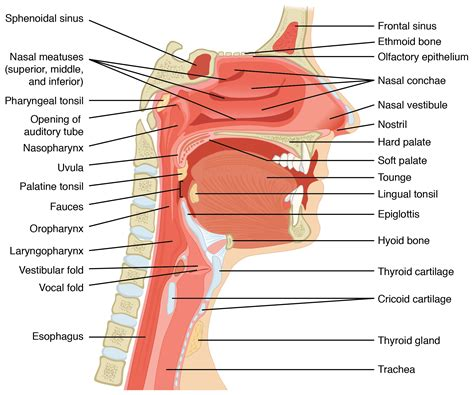 labelled diagram of the nose organs and structures of the respiratory system 183 anatomy