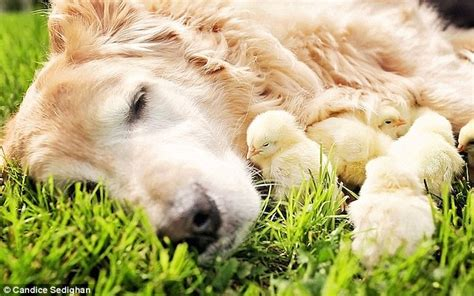golden retriever philippines viral pictures golden retriever and his friends philippines daily