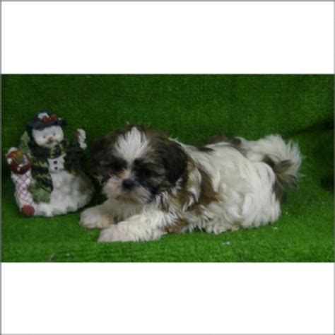 what is shih tzu favorite food shih tzu m 533518 pet grooming pet food supplies abrabadabra pet center