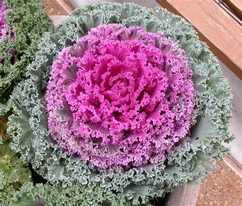 decorative cabbage kale plants kale seeds ornamental greenmylife anyone can garden