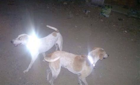 3d roadkill dog reflective collars are saving 300 strays in chennai from