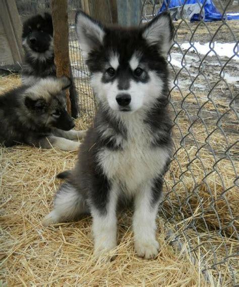 wolf puppy wolf puppies wolf puppies puppies