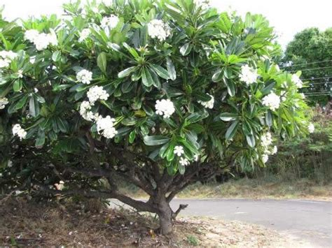 plumeria pudica common name plumeria obtusa evergreen care transplanters sunshine