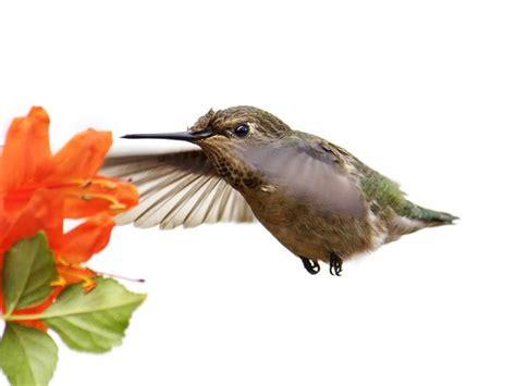 pin by nancy wright on hummingbirds pinterest