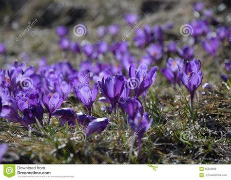 primi fiori di primavera croco primi fiori di primavera fotografia stock