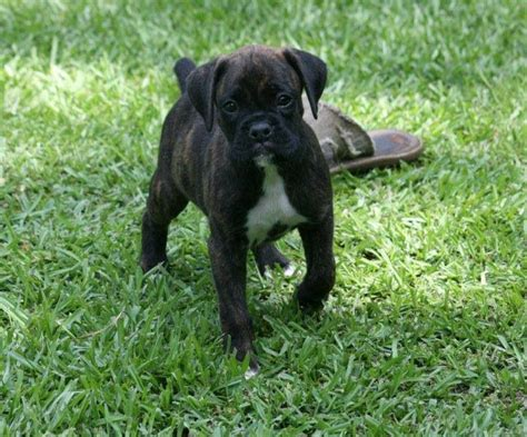 6 week boxer puppy 5428 best images about beautiful boxers on boxer puppies best dogs and