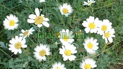 membuat zpt nabati cara membuat insektisida nabati dengan serbuk bunga piretrum