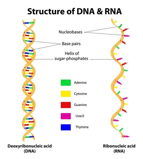 rna structure diagram types of rna mrna rrna and trna