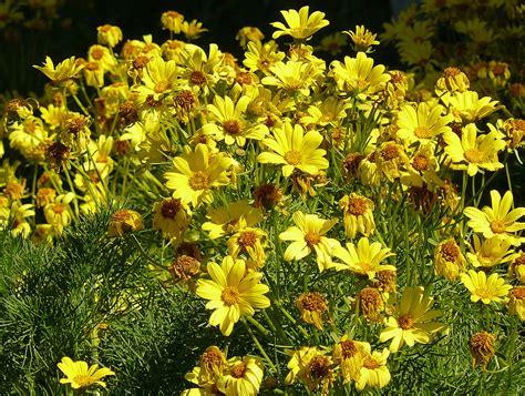 fiori gialli di co coreopsis