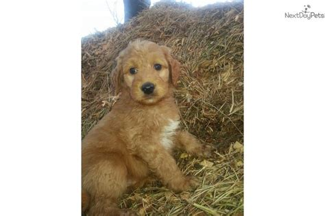 goldendoodle puppy forum goldendoodle for sale for 1 200 near greenville