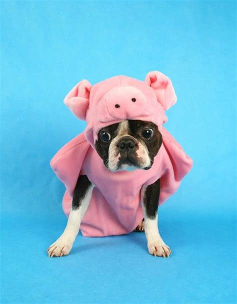 pig puppy 1000 ideas about boston terrier costume on boston terriers boston