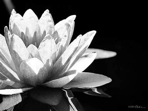 imagenes en blanco y negro flores fotos de flores en blanco y negro imagui