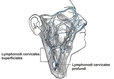 linfonodo testa linfonodi della testa e collo