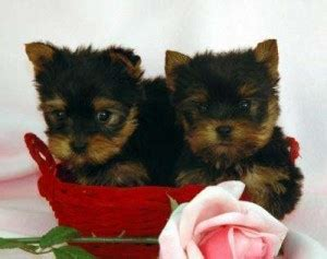 teacup yorkie for adoption in ga pets free classified ads