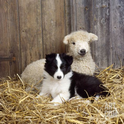 lambs farm puppies 17 best images about border collies on border collie pups collie puppies