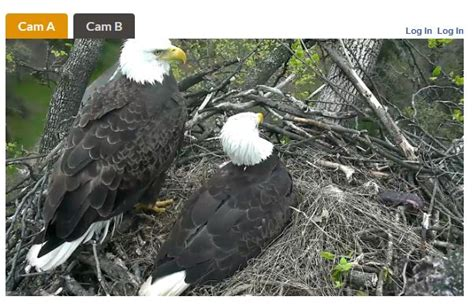 The Best Bald Eagle Cams - The Infinite Spider