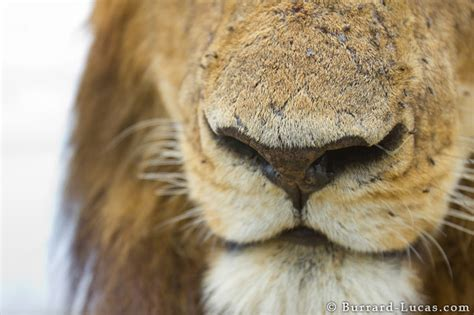 lion nose burrard lucas photography