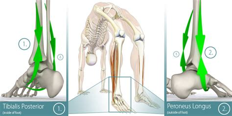 Yoga Anatomy: The Longtitudinal Arches of the Feet ... Foot Arch Muscles