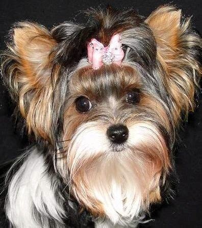 german yorkie 17 best images about biewer german yorkie on yorkie pictures of and baby