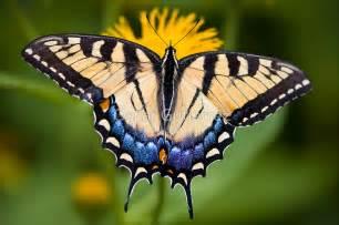 Tiger swallowtail butterfly quot by oscar gutierrez redbubble