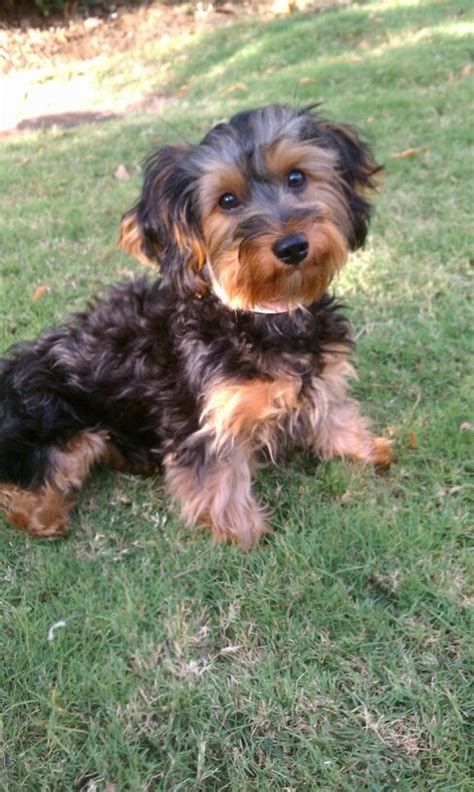 how to cut hair for yorkie poos yorkie poo looks kinda like my baby girl belle but