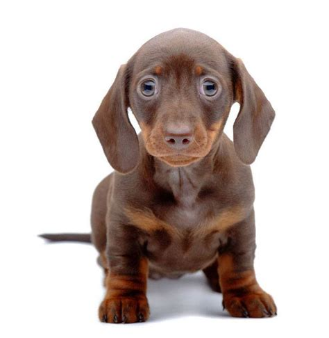 dachshund puppy names unique names for males and females breeds picture