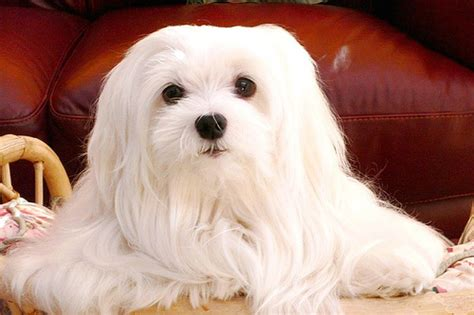 how many puppies can a maltese 20 breeds for with allergies or asthma