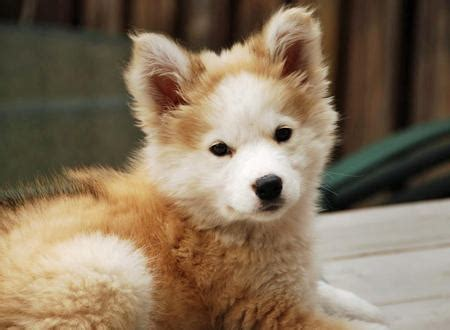 golden retriever puppies mixed breeds mixed breed spotlight golden retriever husky mix featured creature