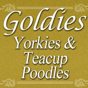 goldies yorkies goldies yorkies goldiesyorkies