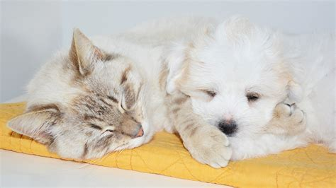 introducing a puppy to a cat a simple guide to introducing a puppy to a cat