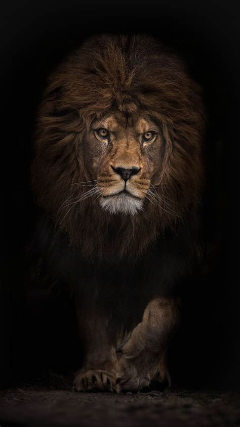 wallpaper black lion iphone backgrounds hd google search into the wild