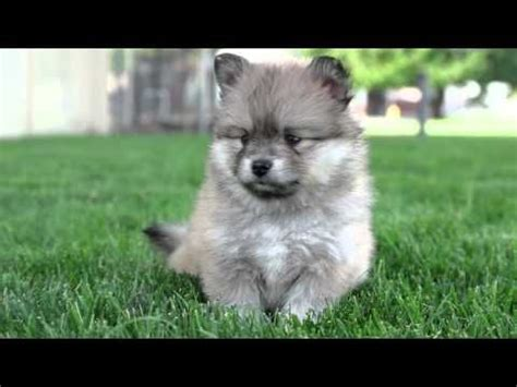 pomsky puppies for sale prices best 25 pomeranian husky price ideas on pomsky puppies price husky