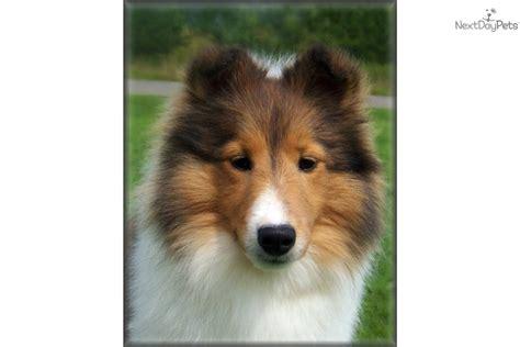 sheltie puppies for adoption shetland sheepdog puppies and dogs for sale and adoption breeds picture