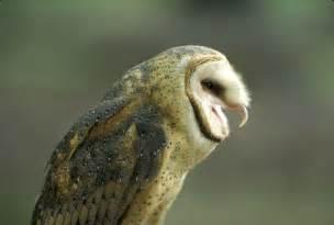 barn owl barn owl mdc discover nature