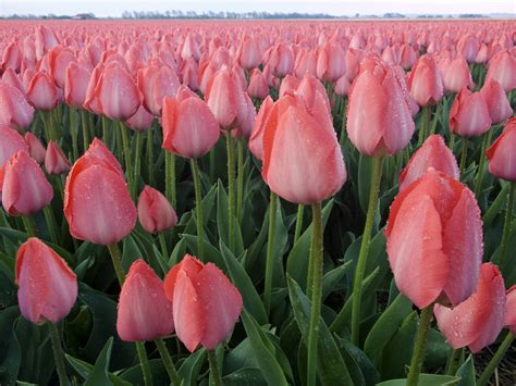 wallpaper bunga tulip pink 2560x1920 pink tulips desktop pc and mac wallpaper
