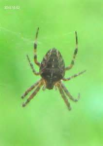 Garden Spider Orb Orb Garden Spider Araneus Diadematus Bugguide Net