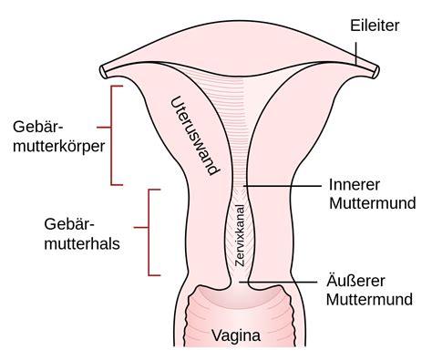 innere und äußere schamlippe geb 228 rmutterhals