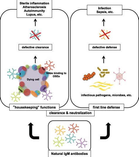 frontiers antibody targeting of steady frontiers b 1 cell immunoglobulin directed against