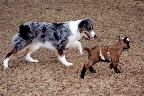australian herding 17 best images about australian shepherd on australian shepherd puppys